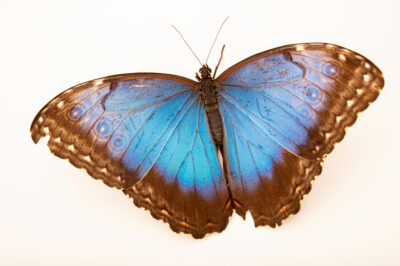 Photo: A Peleides blue morpho (Morpho peleides) at the Butterfly Pavilion.