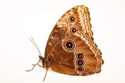 Photo: A Peleides blue morpho (Morpho peleides) at the Butterfly Pavilion.
