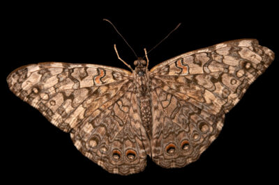 Photo: A gray cracker butterfly (Hamadryas februa) at the Butterfly Pavilion.