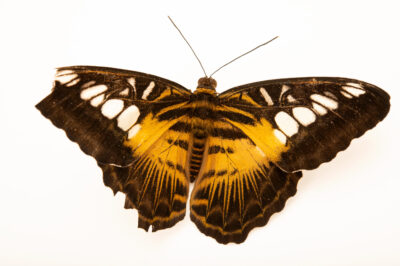 Photo: A brown clipper (Parthenos sylvia philippinensis) at the Butterfly Pavilion.