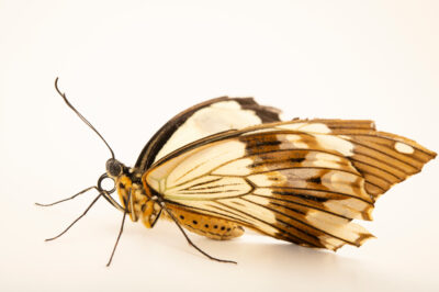 Photo: A mocker swallowtail (Papilio dardanus) at the Butterfly Pavilion.