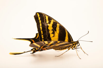 Photo: A three-tailed tiger swallowtail (Papilio pilumnus) at the Butterfly Pavilion.