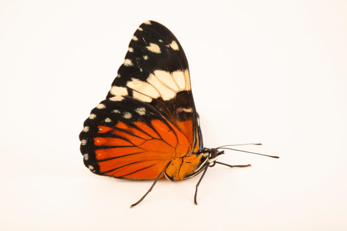 Photo: A red cracker butterfly (Hamadryas amphinome) at the Audubon Insectarium, part of the Audubon Nature Institute.
