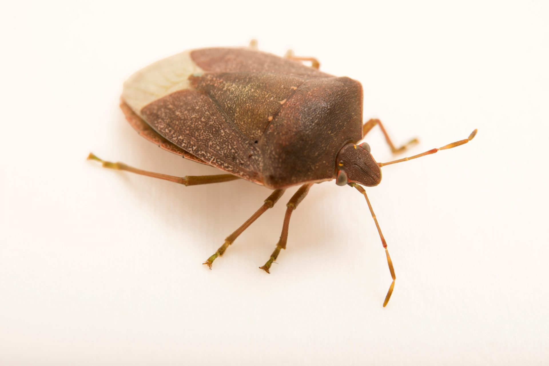 Photo: Southern green stink bug (Nezara viridula) from the wild.