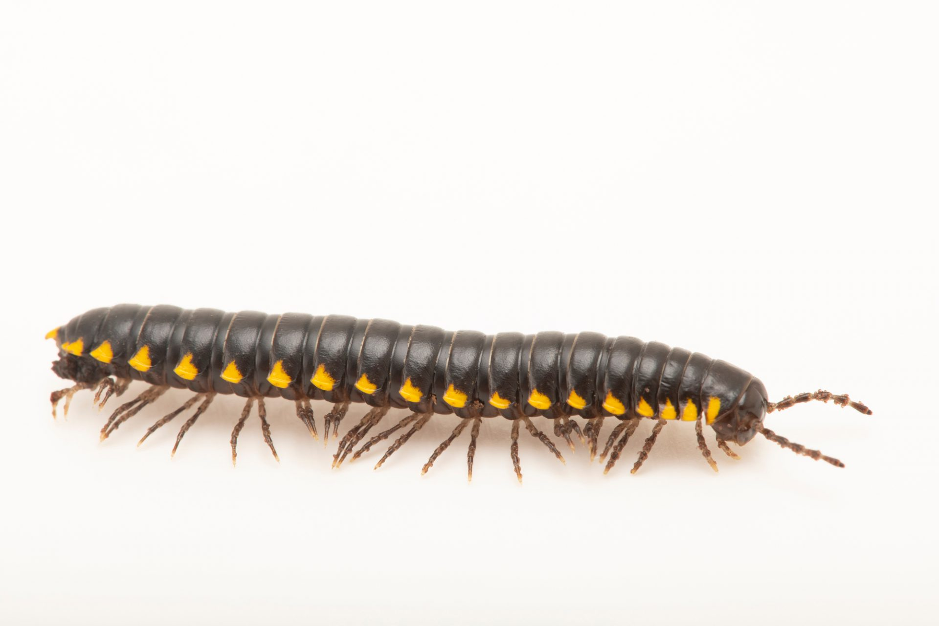 Photo: Yellow-spotted millipede (Harpaphe haydeniana) at the Woodland Park Zoo.