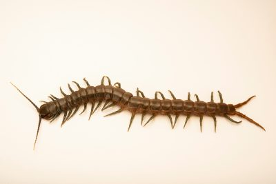 Photo: A Tanzanian blue leg centipede (Ethmostigmus trigonopodus) at Museum of Nature South Tyrol.