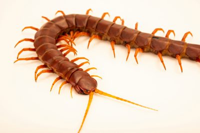 Photo: A Hispaniola red giant centipede (Scolopendra sp) at Museum of Nature South Tyrol.