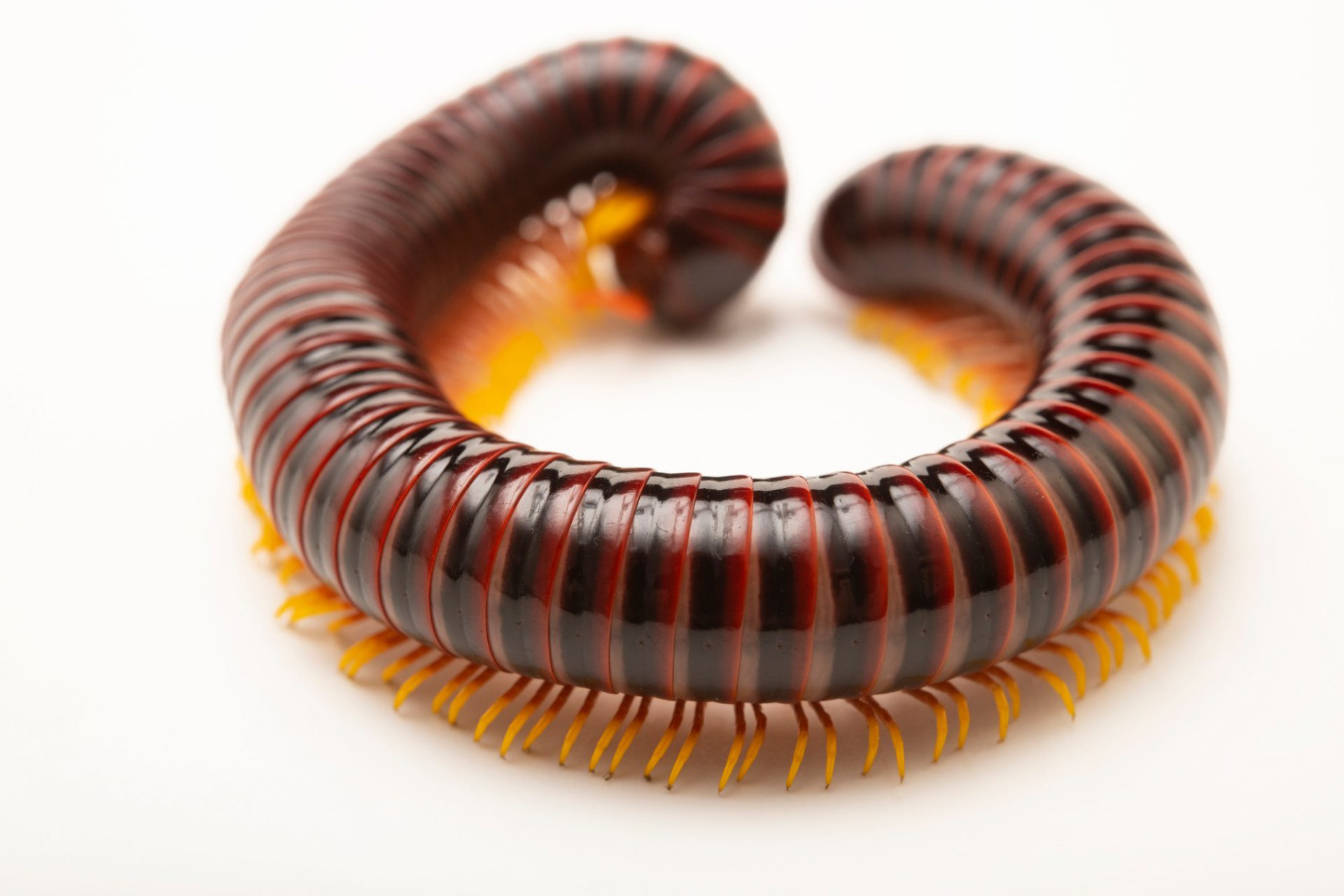 Photo: An unidentified wild caught millipede collected on the grounds of the University of the Philippines.