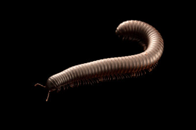 Photo: A black Cameroon train millipede (Mardonius parilis acuticonus) at Aquarium Berlin.