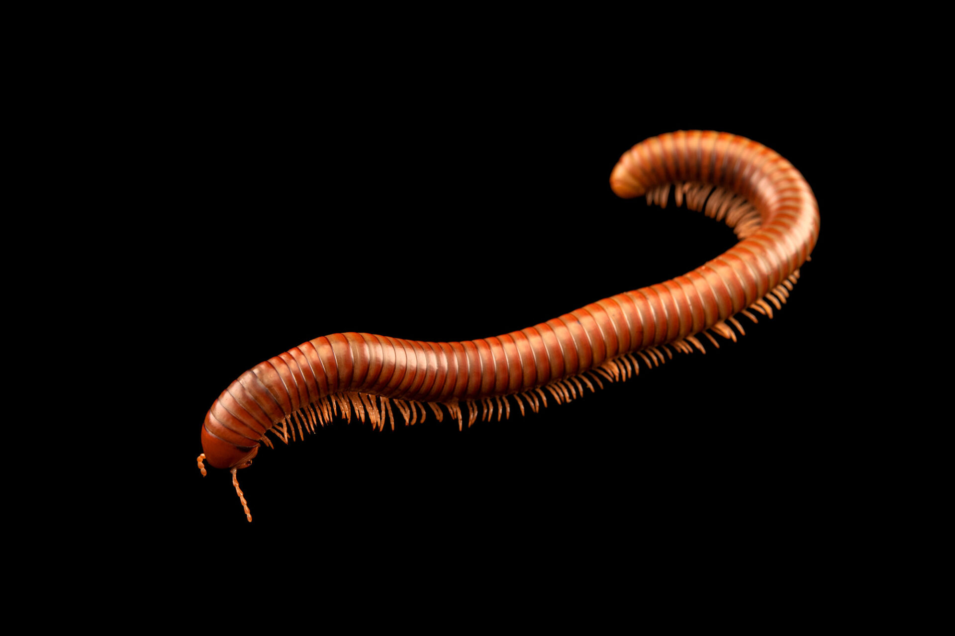 Photo: An olive banded millipede (Spirostreptus sp.) at Aquarium Berlin.
