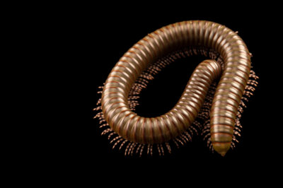 Photo: A giant African olive millipede (Telodeinopus aoutii) at Aquarium Berlin.