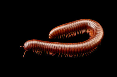 Photo: A chocolate-banded millipede (Pelmatojulus ligulatus) at Zoopark Zajezd.