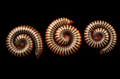 Photo: Thai rainbow millipedes (Tonkinbolus dollfusi) at Petra Aqua.