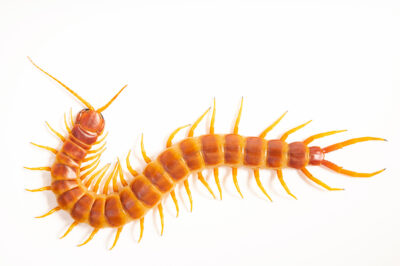 Photo: A giant yellowleg centipede (Scolopendra robusta) from a private collection in St. Augustine, Florida.