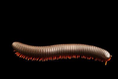 Photo: A Kenyan giant red legged millipede (Epibolus pulchripes) at Prague Zoo.