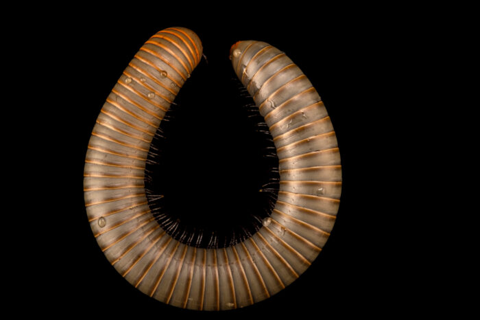 Photo: A smokey ghost millipede (Narceus gordanus) at the Butterfly Pavilion.