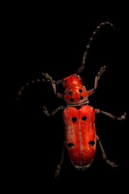 Photo: A red milkweed beetle (Tetraopes tetrophthalmus) at the Butterfly Pavilion.