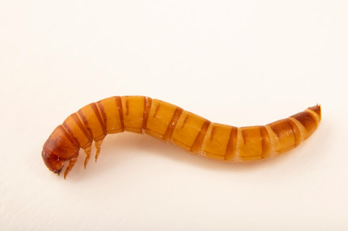 Photo: A mealworm (Tenebrio molitor) at the Butterfly Pavilion.