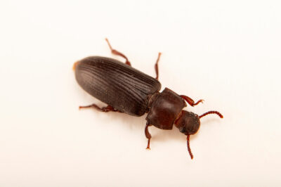 Photo: A mealworm beetle (Tenebrio molitor) at the Butterfly Pavilion.