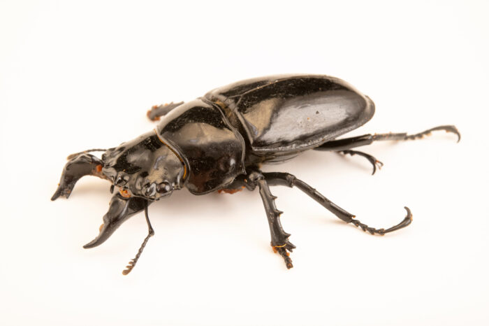 Photo: A shining African stag beetle (Mesotopus tarandus) at the Audubon Insectarium, part of the Audubon Nature Institute.