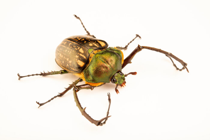 Photo: A long-armed scarab beetle (Euchirus dupontianus) at the Audubon Insectarium, part of the Audubon Nature Institute.