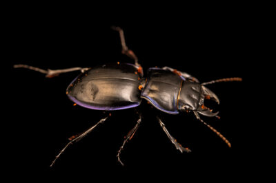Photo: A purple-margined ground beetle (Pasimachus sp.) at the Audubon Insectarium, part of the Audubon Nature Institute.