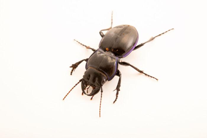 Photo: A purple-margined ground beetle (Pasimachus sp.) at the Audubon Insectarium, part of the Audubon Nature Institute.