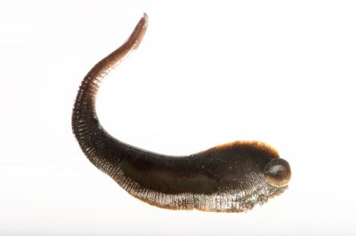 Picture of a mud leech (Haemopis marmorata) at the St. Louis Zoo.