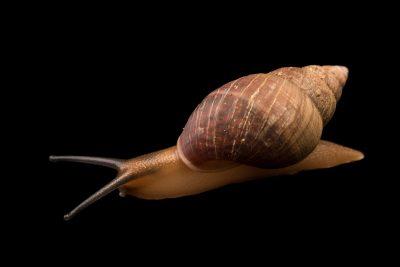 Photo: Enid snail (Pachnodus fregatensis) at the Exmoor Zoo.