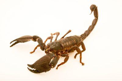 Photo: Asian forest scorpion (Heterometrus swammerdami) at the Exmoor Zoo.