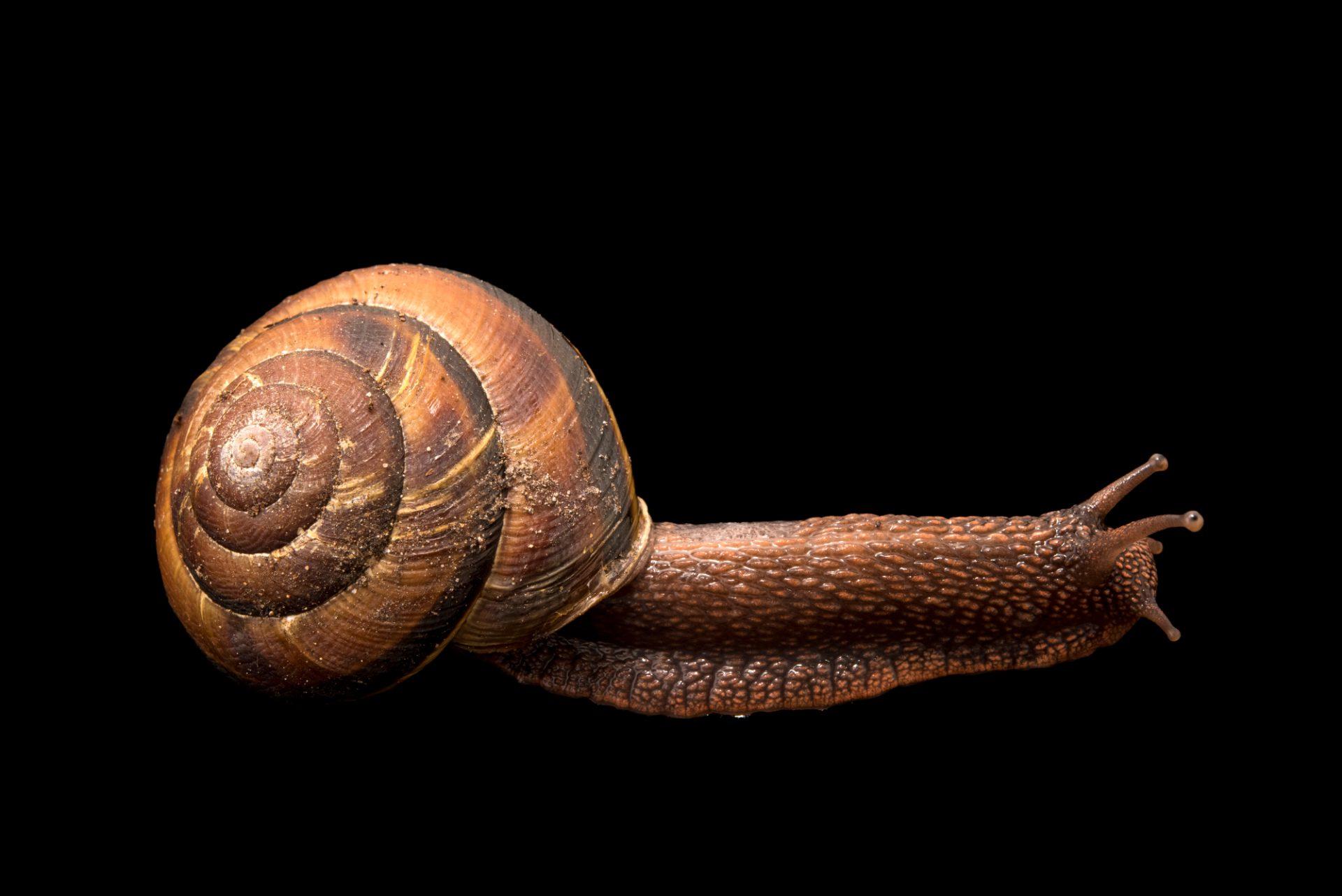 Photo: Pacific sideband snail (Monadenia fidelis) at the Trinity Western University.