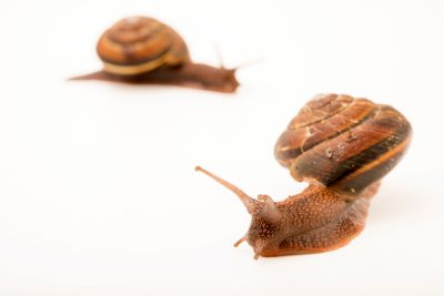 Photo: Pacific sideband snails (Monadenia fidelis) at the Trinity Western University.