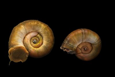 Photo: Great ramshorn snails (Planorbarius corneus) at Alpenzoo in Innsbruck, Austria.