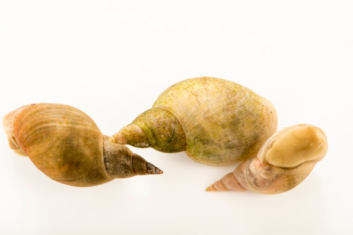 Great pond snails (Lymnaea stagnalis) at Alpenzoo in Innsbruck, Austria.