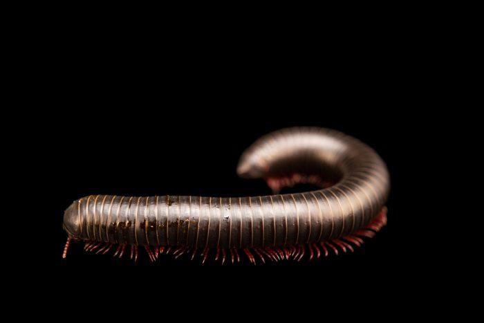 Photo: Red legged millipede (Spirobolida sp.) at Lilydale High School in Australia.
