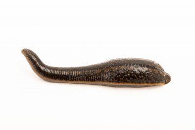 Photo: European medicinal leech (Hirudo medicinalis) at the Woodland Park Zoo.