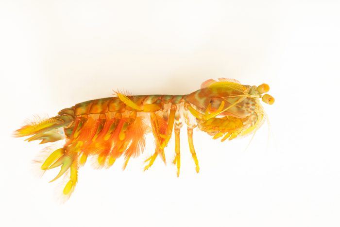 Photo: Orange spot mantis shrimp (Gonodactylaceus ternatensis) from a private collection.