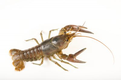 Photo: A rusty crayfish, Orconectes rusticus, from Leech Lake in Minnesota.