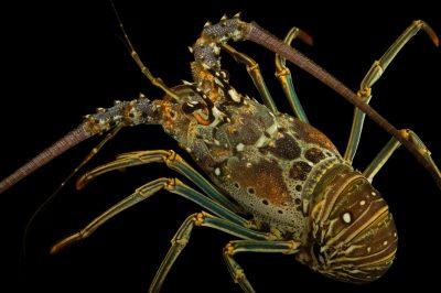 Photo: A Caribbean spiny lobster (Panulirus argus) at Gulf Specimen Marine Lab and Aquarium.