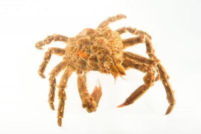 Photo: A decorator crab (Loxorhynchus crispatus) at the REEF, at the University of California, Santa Barbara.