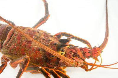 Photo: A California spiny lobster (Panulirus interruptus) at the REEF, at the University of California, Santa Barbara.