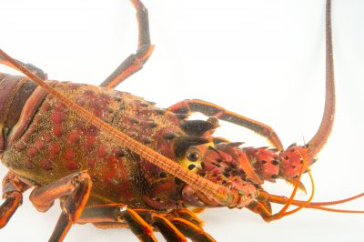 Photo: A California spiny lobster (Panulirus interruptus) at the REEF, at the University of California, Santa Barbara.