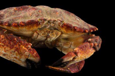 Photo: A brown cancer crab (Cancer pagurus) at the REEF, at the University of California, Santa Barbara.