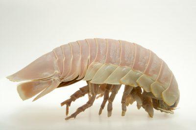 Photo: A giant deep-sea roach (Bathynomus giganteus) at the Virginia Aquarium.