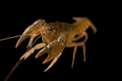 Photo: A freshwater crayfish (Orconectes) from a private collection.