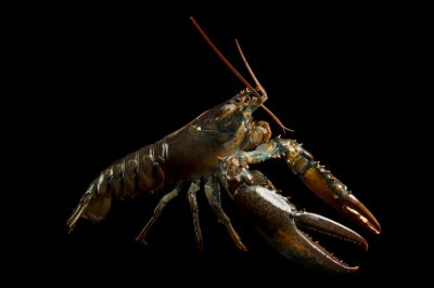 Photo: A studio portrait of an American lobster, Homarus americanus.