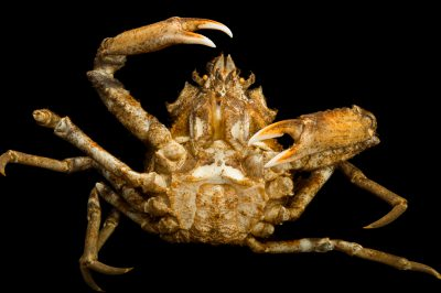 Photo: A Pacific lyre crab (Hyas lyratus) at the Alaska SeaLife Center.
