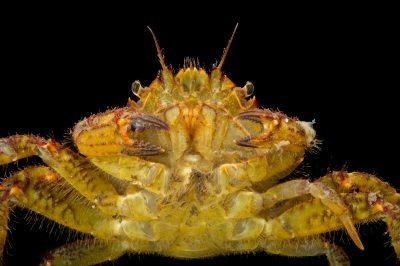 Photo: A helmet crab (Telmessus cheiragonus) at the Alaska SeaLife Center.