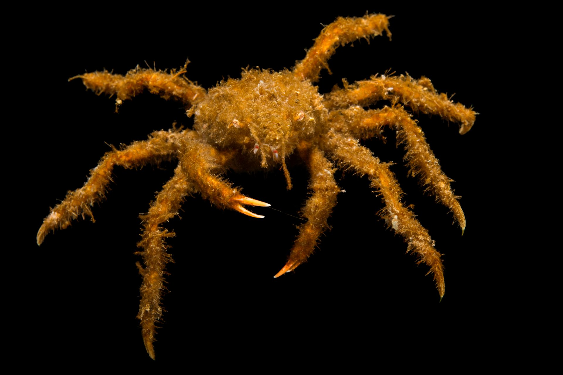 Photo: A decorator crab (Oregonia gracilis) at the Alaska SeaLife Center.