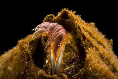 Photo: Barnacles (Balanus sp.) filter feed at the Alaska SeaLife Center.